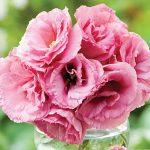 Lisianthus Balboa Rose