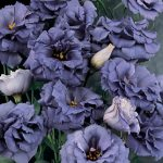"Lisianthus ""The Blue Rose"""