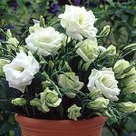 Lisianthus White Rose