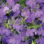 Lobelia Crystal Palace Blue
