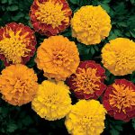 Marigold Boy O' Boy Mix