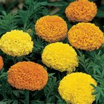 Marigold Climax Mixed Colors Hybrid