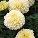 Marigold French Vanilla Hybrid