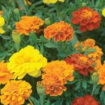 Marigold Happy Days Mix