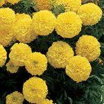 Marigold Primrose Lady Hybrid