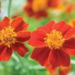 Marigold Scarlet Starlet