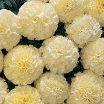 Marigold Snowball Hybrid