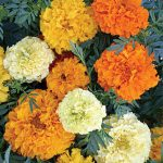 Marigold Sugar And Spice Mix