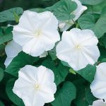 Moonflower Giant White