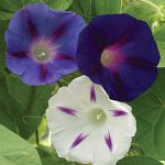Morning Glory Celestial Mix
