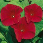 Morning Glory Scarlett O' Hara