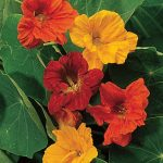 Nasturtium Double Dwarf Jewel Mix