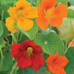 Nasturtium Double Gleam Mixed Colors