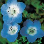 Nemophila Baby Blue Eyes