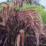 Ornamental Grass Pennisetum