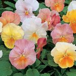Pansy Antique Shades Hybrid Mix