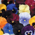 Pansy Atlas Mix