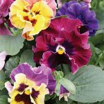 Pansy Moulin Rouge