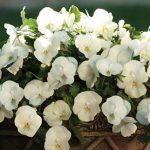 Pansy Spreading Plentifall White