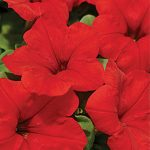 Petunia Easy Wave Red Hybrid