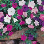 Petunia Magic Carpet Hybrid Mix