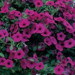 Petunia Purple Wave Hybrid