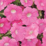 Petunia Rose Wave Hybrid