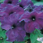 Petunia Supercascade Blue