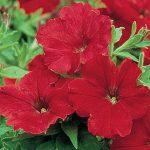 Petunia Supercascade Red
