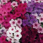 Phlox Summer Majesty Hybrid Mix