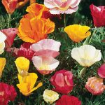 Poppy California Sunset Mixed Colors