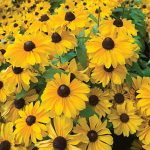 Rudbeckia Tiger Eye Hybrid