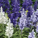 Salvia Cathedral Deep Blue