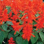 Salvia Red Hot Mama