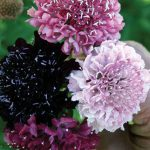 Scabiosa Summer Berries
