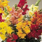 Snapdragon Cinderella Mixed Colors