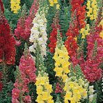 Snapdragon Double Supreme Mix
