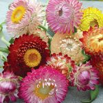 Strawflower Tall Mixed Colors