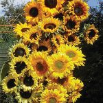 Sunflower Pristine Mix Hybrid