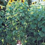 Sunflower American Giants Hybrid