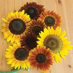 Sunflower Autumn Beauty Mix Organic