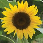 Sunflower Del Sol Hybrid