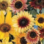 Sunflower Fantasia Mix Hybrid
