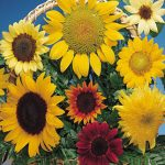 Sunflower Fun 'N Sun Mix Hybrid
