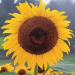 Sunflower Kong Hybrid