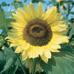 Sunflower Lemon Queen Organic