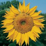 Sunflower Mammoth Organic