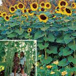 Sunflower Sunforest Mix
