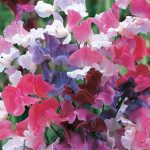 Sweet Pea Sweet Dreams Mix