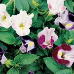 Torenia Happy Faces Hybrid Mix